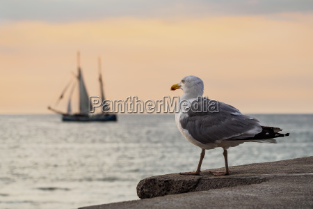 sailing ship and seagull on the