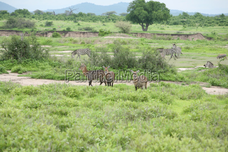 wild impala antelope in african botswana