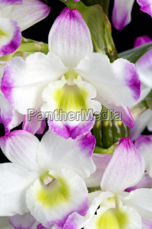 dendrobium orchid hybrids isolated on black