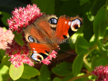 peacock butterfly sits on a pink