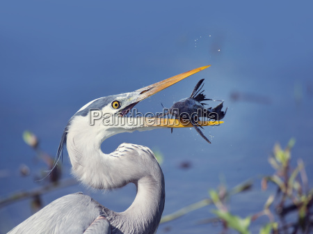 great, blue, heron, with, a, fish - 23455373