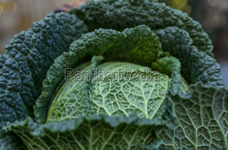 fresh savoy cabbage with water drops