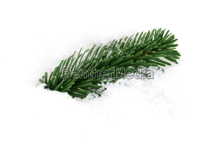 fir branch in the snow