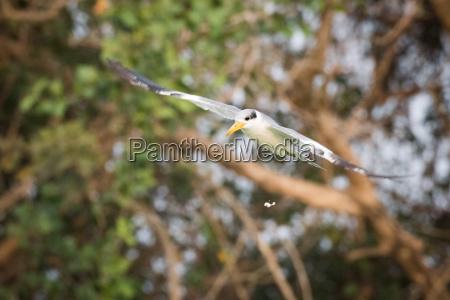 yellow billed tern with bird droppings