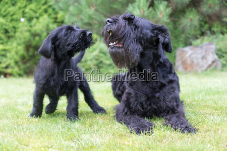 puppy and barking adult dog of