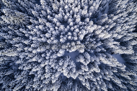 aerial flight with drone over coniferous