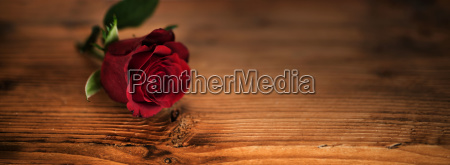 beautiful red roses for valentines day