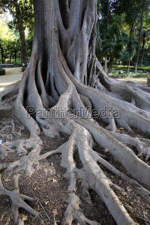 trunk and roots of the liana