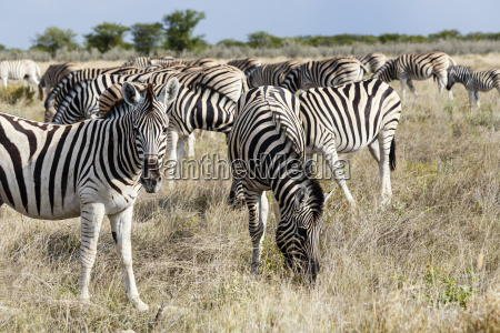 herd of plains zebras in etosha