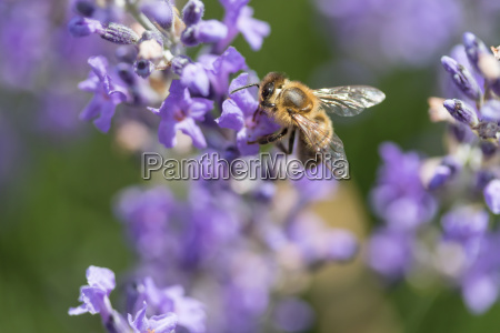 bee on the lavender with extended