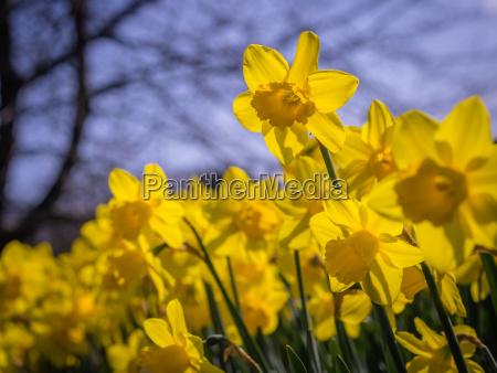 first yellow daffodils