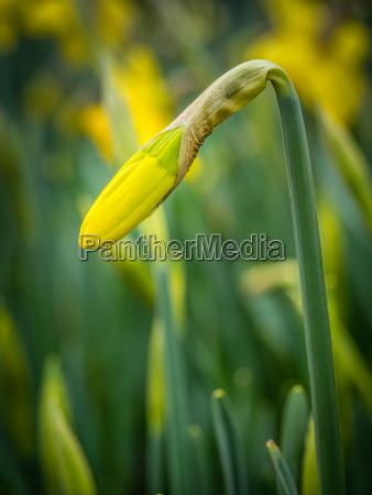closed daffodil bud