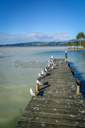 seagulls on wooden pier rotorua lake