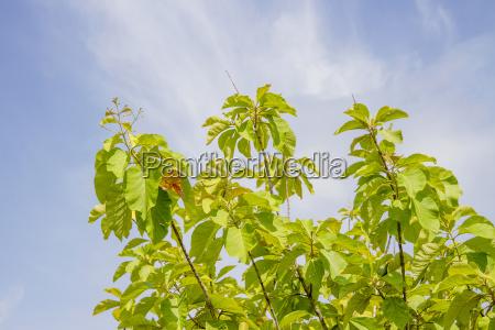 teakwood top with blue sky