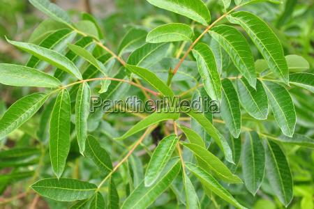 turpentine pistachio pistacia terebinthus