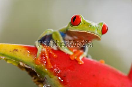 red eyed tree frog agalychnis