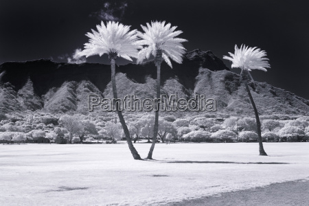 infrared photograph of palm trees at