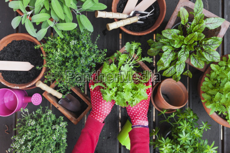 womans hands planting herbs on terrace