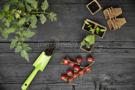 hand trowel tomatoes tomato plant and