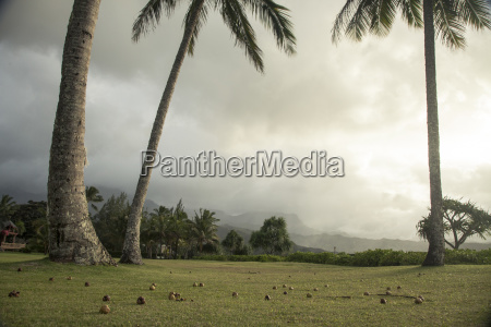 fallen coconuts lying on lawn under