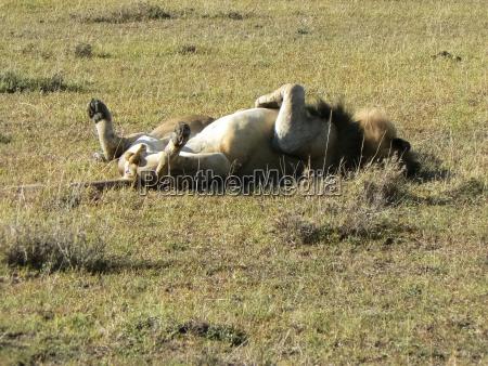 lion in the savannah safari in