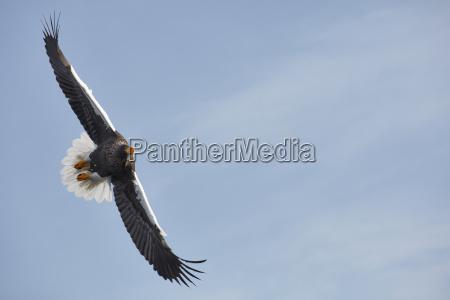 stellers sea eagle haliaeetus pelagicus landing