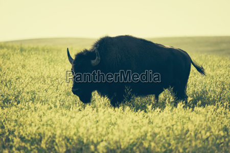 american bison standing in field of