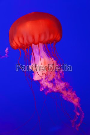 bright red pacific sea nettle jellyfish