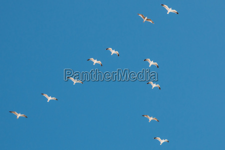 flying sea mews in the sky