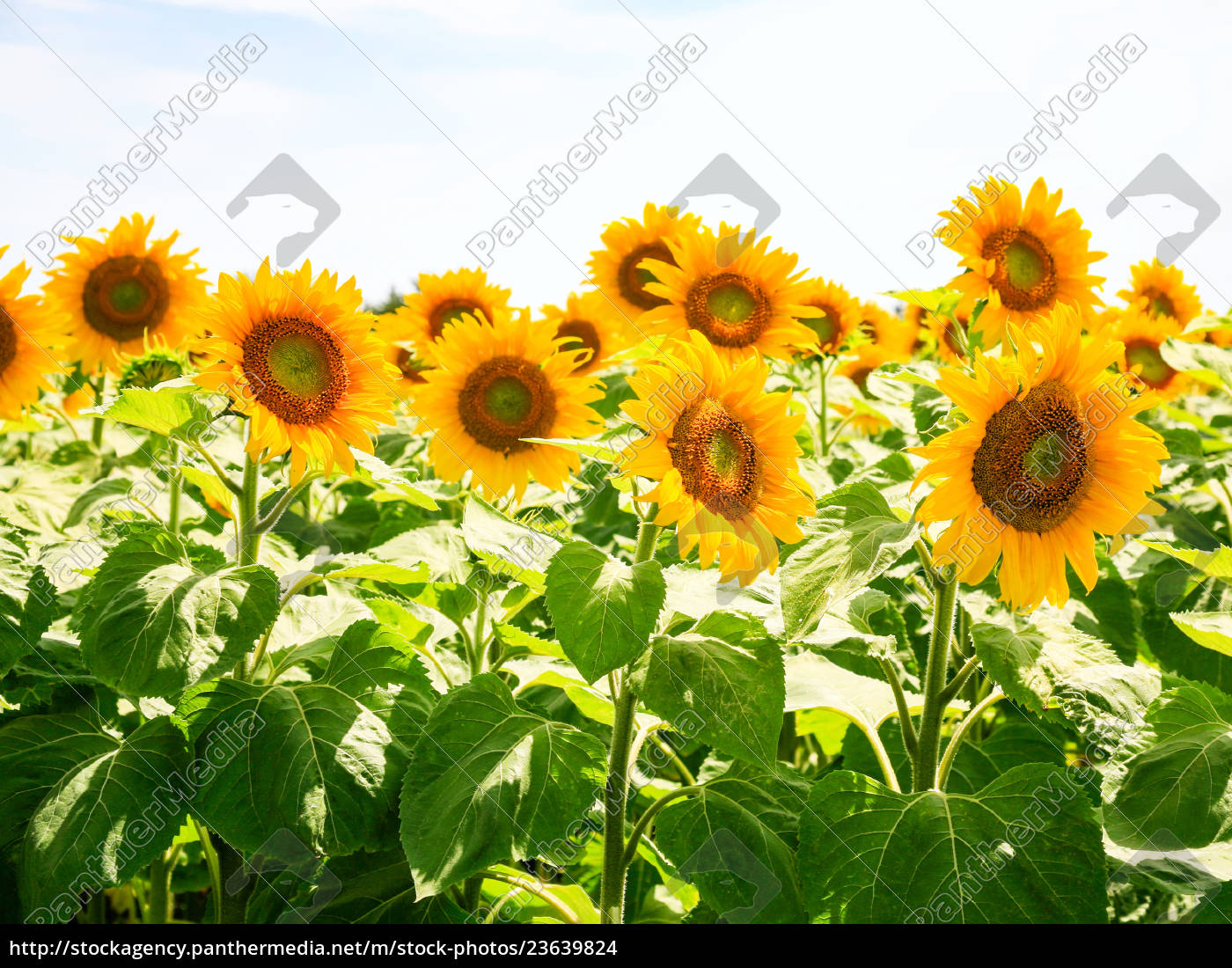 sunflower, flowers, under, blue, sky, in - 23639824