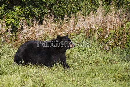 adult black bear walking across grassy