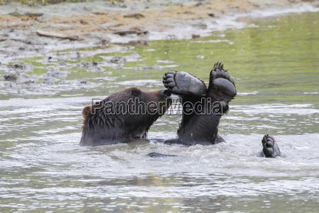 brown bear ursus arctos playing in