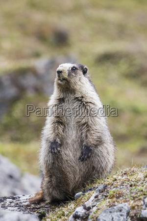 an adult marmot marmota is on