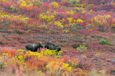 moose cows in the autumn coloured
