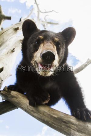 black bear cub ursus americanus captive