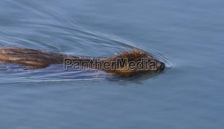 north american beaver castor canadensis swiming
