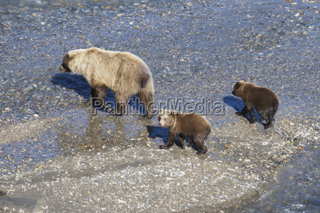 brown bear sow ursus arctos with