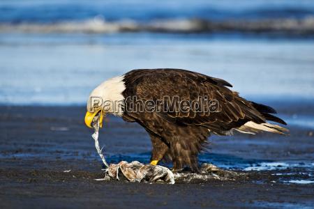 bald eagle on the beach feeding