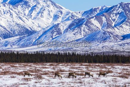 caribou rangifer tarandus caribou search for