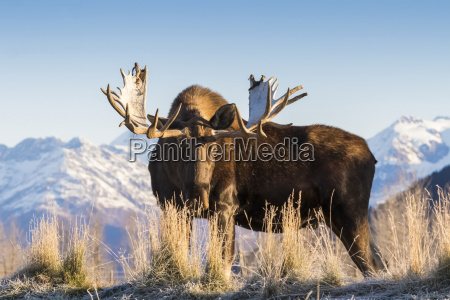 bull moose alces alces captive at