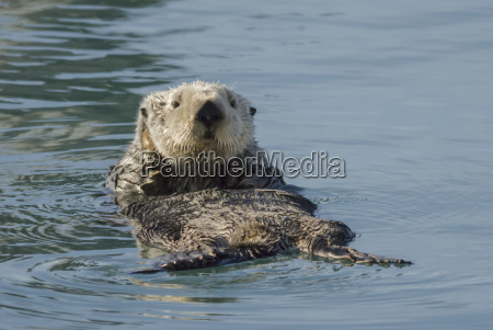 sea otter enhydra lutris in prince
