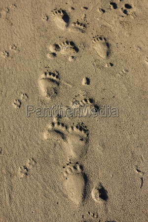 grizzly bear tracks in the riverbank