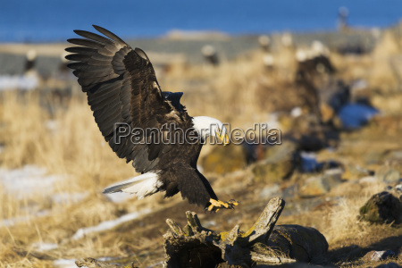 bald eagle haliaeetus leucocephalus landing on