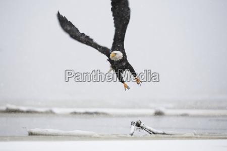 a bald eagle haliaeetus leucocephalus flys