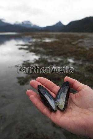 a hand holds an open mollusc