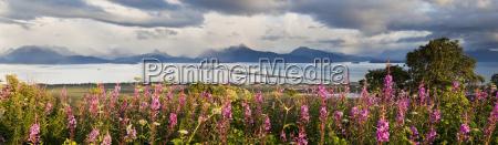 panorama of fireweed chamaenerion angustifolium blossoming