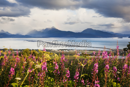 fireweed chamaenerion angustifolium blossoming in the