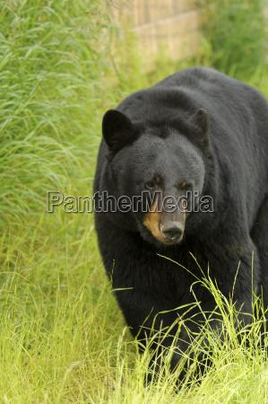 an adult male black bear walks