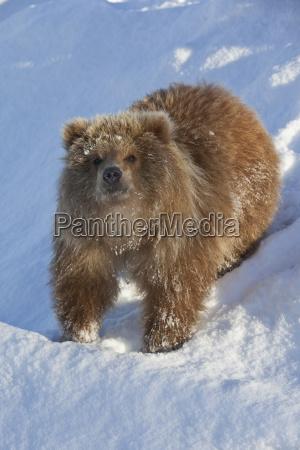 captive kodiak brown bear female cub