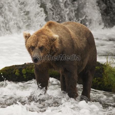 a brown bear ursus arctic standing
